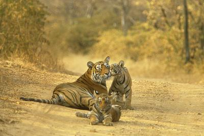 Bengal Indian Tiger Lying on Dirt Track with Cubs--Framed Photographic Print