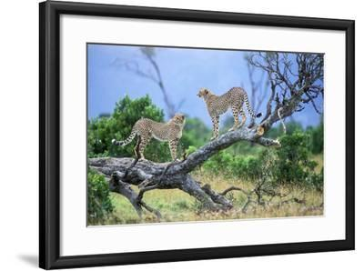 Cheetah Two on Branch--Framed Photographic Print