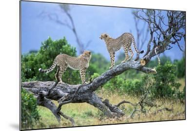 Cheetah Two on Branch--Mounted Photographic Print