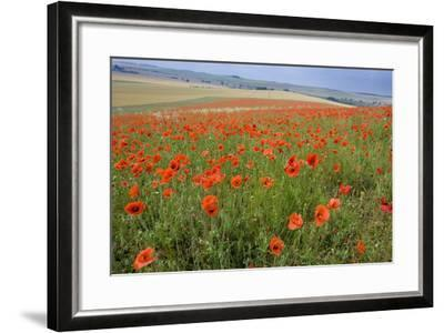 Common Poppies on the Berkshire Downs--Framed Photographic Print