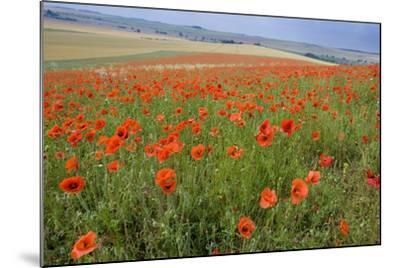 Common Poppies on the Berkshire Downs--Mounted Photographic Print