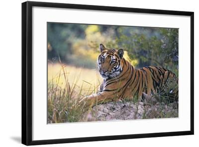 Bengal Indian Tiger Resting on Mound--Framed Photographic Print