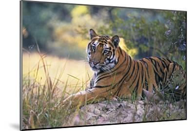 Bengal Indian Tiger Resting on Mound--Mounted Photographic Print