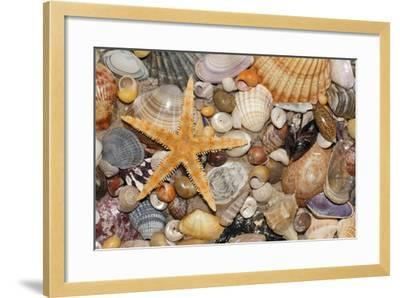 Atlantic Mixed Shells and Starfish on Beach--Framed Photographic Print