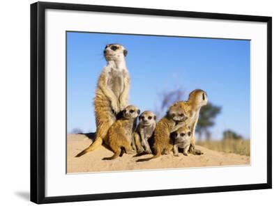 Meerkat Adult Babysitters and Young--Framed Photographic Print