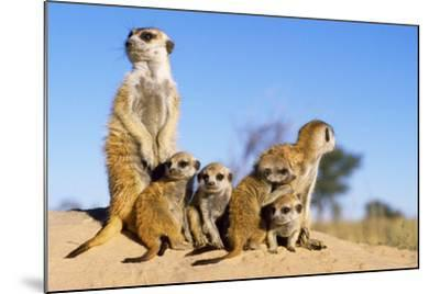 Meerkat Adult Babysitters and Young--Mounted Photographic Print