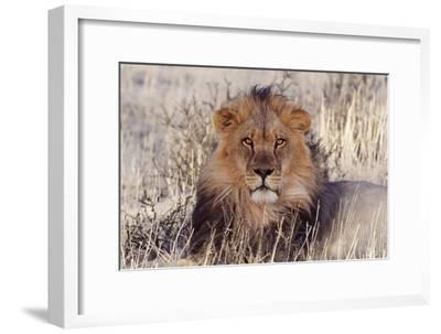Lion Close-Up of Head, Facing Camera--Framed Photographic Print