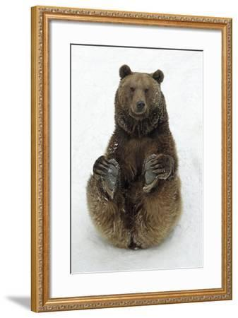European Brown Bear Male Sitting in Snow--Framed Photographic Print
