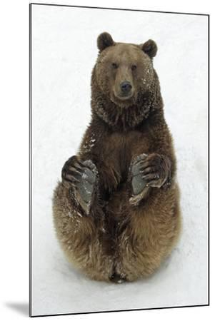 European Brown Bear Male Sitting in Snow--Mounted Photographic Print