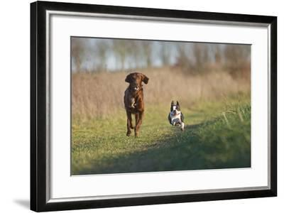 Irish Setter and Boston Terrier Running--Framed Photographic Print