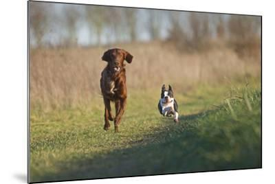 Irish Setter and Boston Terrier Running--Mounted Photographic Print