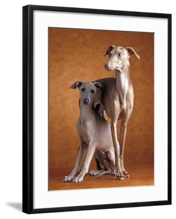 Small Italian Greyhounds Two Together--Framed Photographic Print