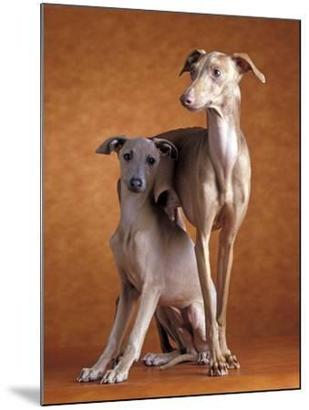 Small Italian Greyhounds Two Together--Mounted Photographic Print