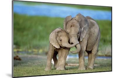 African Elephant Two Calves with Trunks Together--Mounted Photographic Print