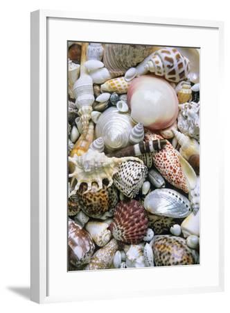 Mixed South Sea Shells--Framed Photographic Print