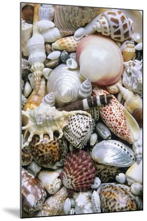 Mixed South Sea Shells--Mounted Photographic Print
