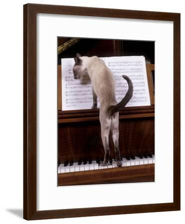 Blue Siamese Standing on Piano 'Reading' Music--Framed Photographic Print