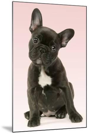 French Bulldog Puppy--Mounted Photographic Print