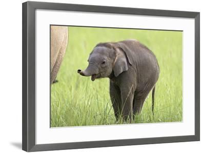 Asian Elephant Calf--Framed Photographic Print