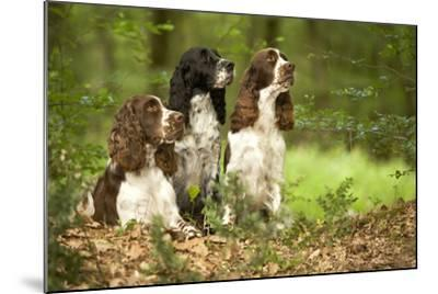 English Springer Spaniels in Woodland--Mounted Photographic Print