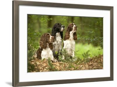 English Springer Spaniels in Woodland--Framed Photographic Print