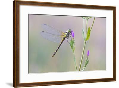 Common Darter Dragonfly Resting on Common Centaury--Framed Photographic Print