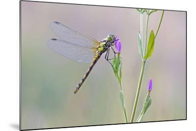 Common Darter Dragonfly Resting on Common Centaury--Mounted Photographic Print