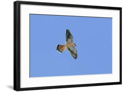 American Kestrel Male in Flight--Framed Photographic Print
