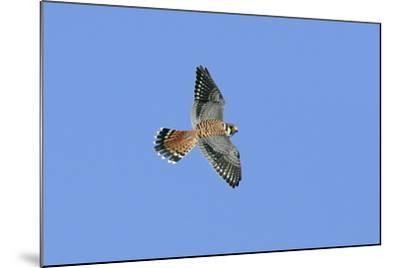 American Kestrel Male in Flight--Mounted Photographic Print