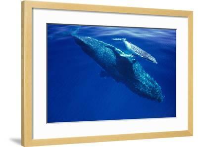 Humpback Whale Female and Her Week-Old Calf Tonga--Framed Photographic Print