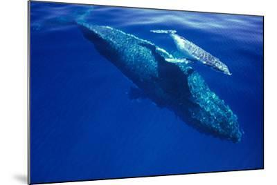 Humpback Whale Female and Her Week-Old Calf Tonga--Mounted Photographic Print