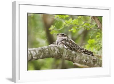 Common Nighthawk--Framed Photographic Print