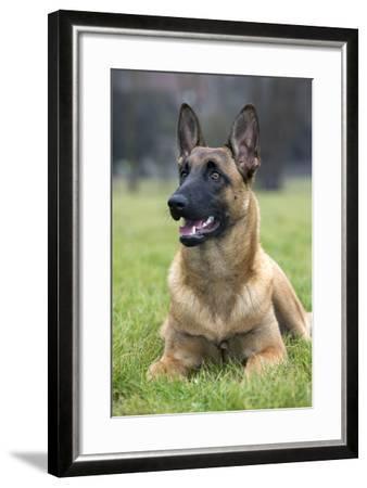 Belgian Shepherd--Framed Photographic Print