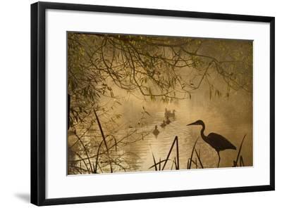 Heron Autumn Mist over Woodland Pond with Ducks--Framed Photographic Print
