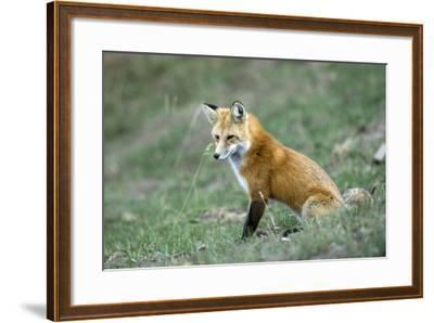 Red Fox Side View of Animal Sitting--Framed Photographic Print