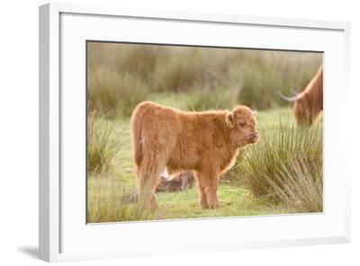 Highland Cattle Calf on Grazing Marsh--Framed Photographic Print