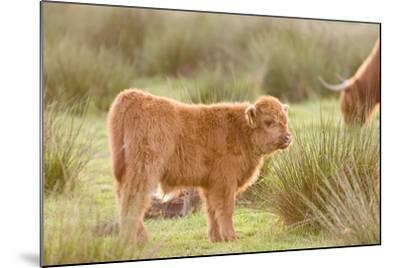Highland Cattle Calf on Grazing Marsh--Mounted Photographic Print