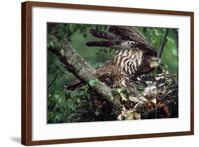 Honey Buzzard at Nest, with Chicks--Framed Photographic Print