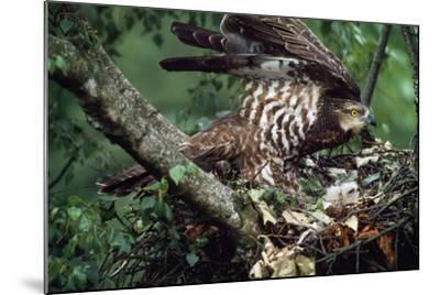 Honey Buzzard at Nest, with Chicks--Mounted Photographic Print