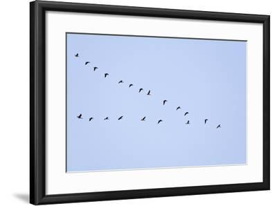 Pink-Footed Geese Flying in a 'V' Formation--Framed Photographic Print