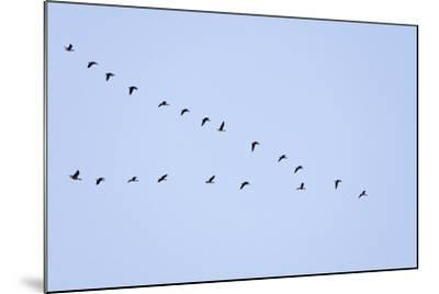 Pink-Footed Geese Flying in a 'V' Formation--Mounted Photographic Print