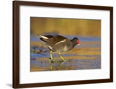 Moorhen Walking on Thin Ice in Early Morning--Framed Photographic Print