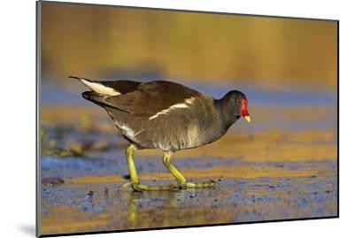 Moorhen Walking on Thin Ice in Early Morning--Mounted Photographic Print