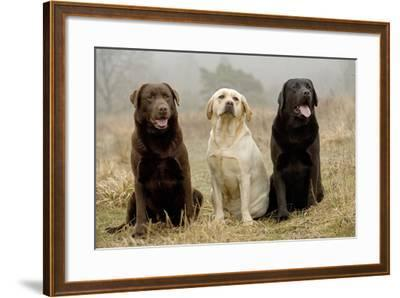 Labrador Yellow, Black and Chocolate--Framed Photographic Print