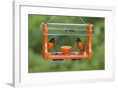 Baltimore Oriole Males Feeding at Jelly and Fruit Feeder--Framed Photographic Print