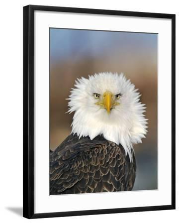 Adult Bald Eagle--Framed Photographic Print