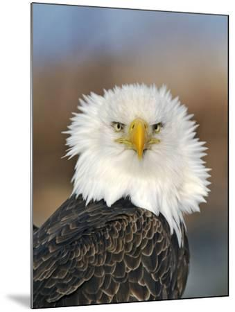 Adult Bald Eagle--Mounted Photographic Print