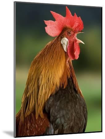 Chicken Cockerel Crowing--Mounted Photographic Print