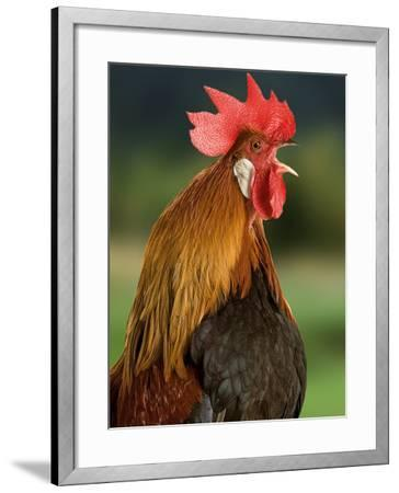Chicken Cockerel Crowing--Framed Photographic Print