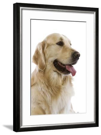 Golden Retriever in Studio--Framed Photographic Print